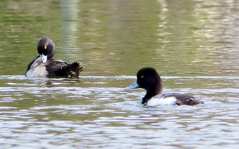 Lesser Scaups on Kings Bay