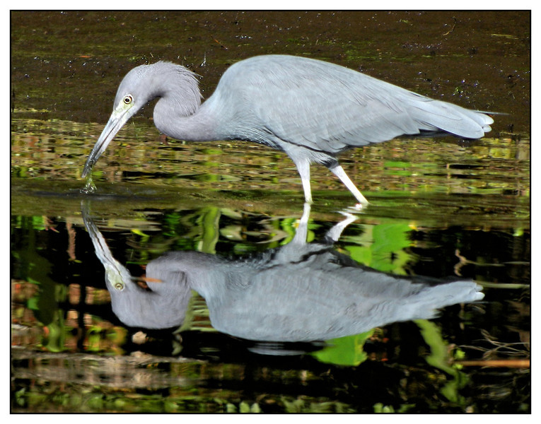 Heron feeding. Kings Bay.