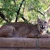 Bobcat at Cactus Camp
