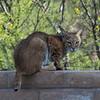 Bobcat Visits Cactus Camp