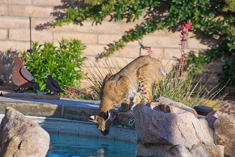 Bobcat Visits Spa at Cactus Camp