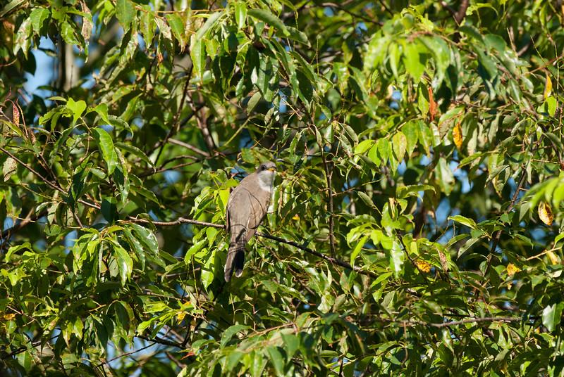 Yellow-billed Cuckoo (1)