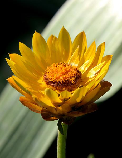 Strawflower (Bracteantha bracteata)