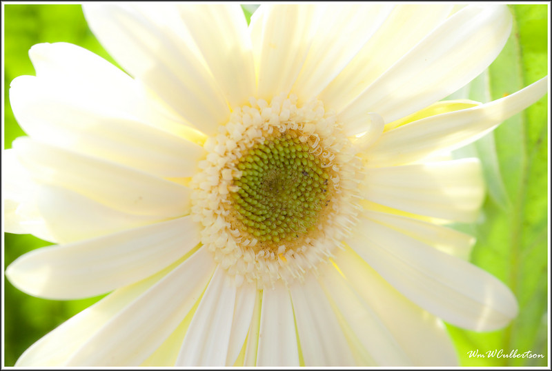 White Daisy<br /> Backlit by Sun