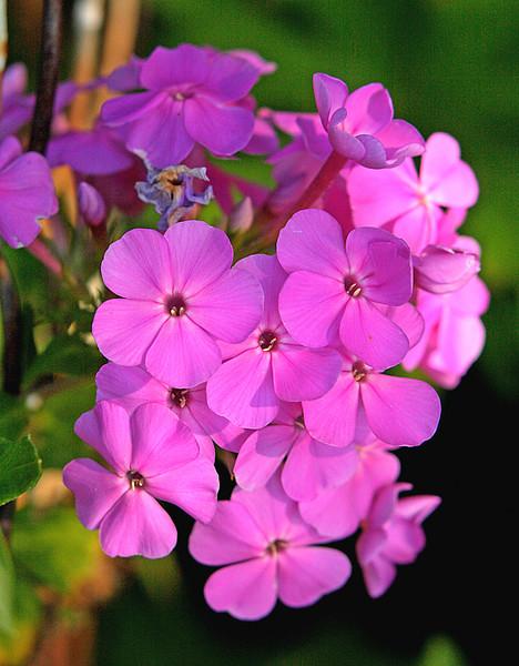 Pink Phlox