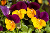 Johnny Jump Up (Violas)