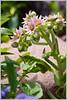 Hen and Chicks (Sempervivum tectorum)