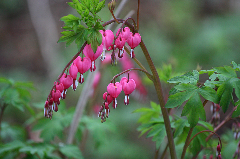 Bleeding Heart in the Evening