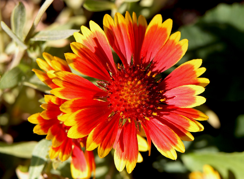Gaillardia Arizona - This was a Mother's Day present from Jon.  Sandra planted it next to the Spruce tree in the back garden where this picture was taken.