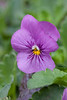Johnny Jump Ups (Violas)