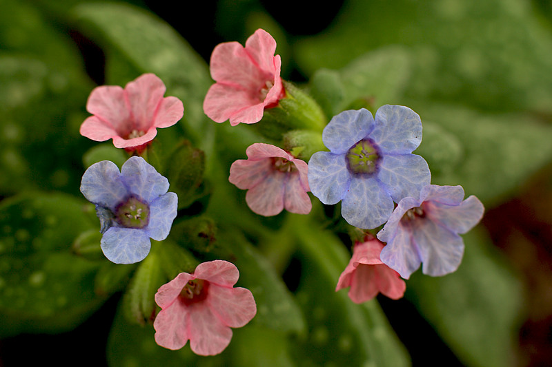 I don't know the name of these perennial flowers from our garden that have both pink and blue flowers in the same clusters.  Let me know if you can identify these flowers.  The leaves are green with white spots.