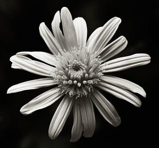Bush Daisy  08 14 10  028 - Edit