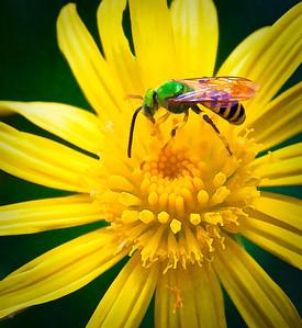 Metallic Green Bee Agapostemon  08 14 10  014 - Edit