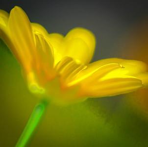 Bush Daisy  10 12 10  020 - Edit