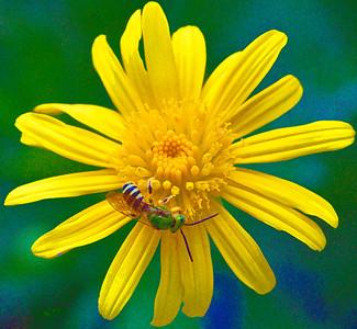 Metallic Green Bee Agapostemon  08 14 10  005 - Edit-2