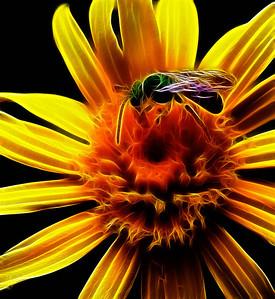 Metallic Green Bee Agapostemon  08 14 10  014 - Edit-2