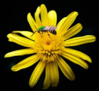 Metallic Green Bee Agapostemon  08 14 10  015 - Edit CS4 - Edit-2