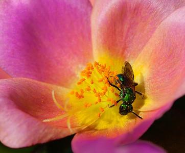 Cuckoo Wasp  07 18 10  006 - Edit CS4 - Edit