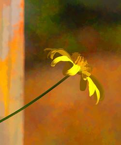 Bush Daisy  10 12 10  083 - Edit