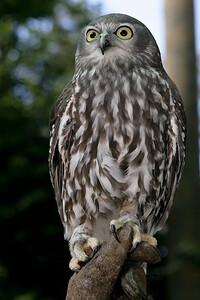 Bundy the Barking Owl - Currumbin Wildlife Sanctuary 29-4-09