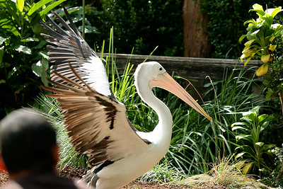 Australian Pelican - Currumbin Wildlife Sanctuary 29-4-09