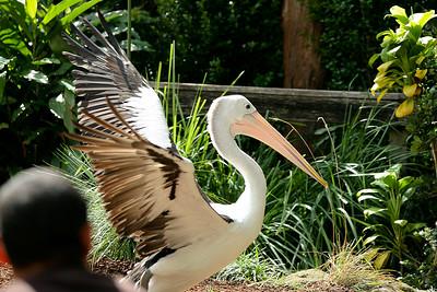 Australian Pelican - Currumbin Wildlife Sanctuary 29-4-09