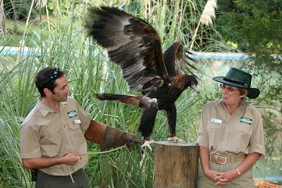 Wedge-Tailed Eagle - Currumbin Wildlife Sanctuary 29-4-09