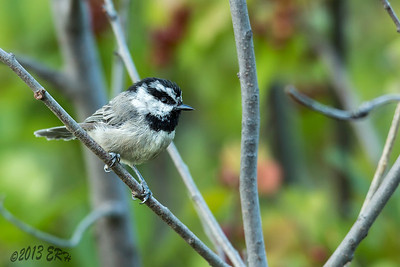 The brash little Mountain Chickadee never wanted to leave the shadows.