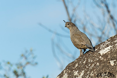 One of the female California Quail for the large group today.  I can never get a clear of the chicks though.