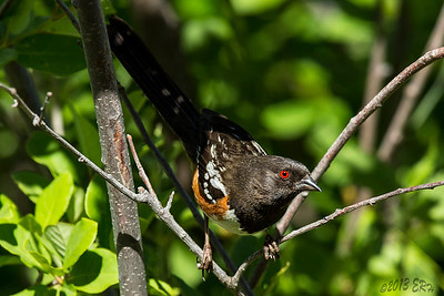 Spotted Towhee giving me a last look before heading down to the water.
