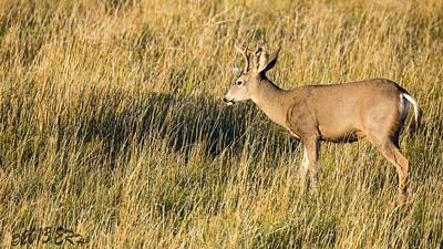 Just a grazing buck.