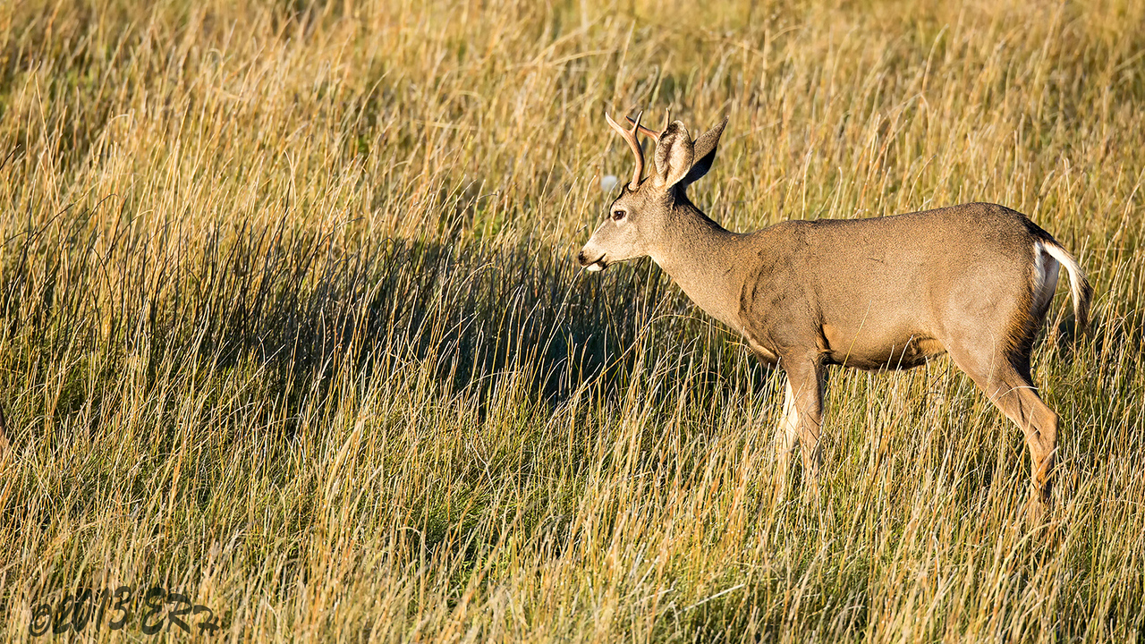 Just a grazing buck.