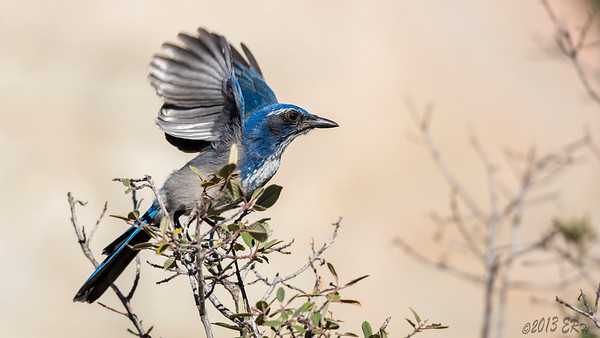 Western Scrub Jay on takeoff..