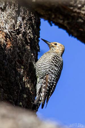 Female Williamson Sapsucker.