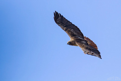 Red Tailed Hawk on the hunt.