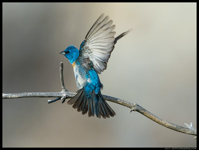 Lazuli Bunting during a perch shift.