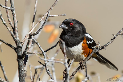 Spotted Towhee.  There were a pair that flew chasing each other in roughly a triangle for the better part of 20 minutes.  This one took a shortcut and ended up in front of the lens.