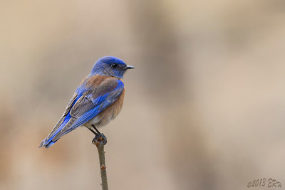 Western Bluebird looking for the next lunch contestant.