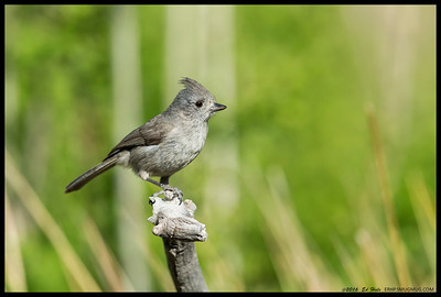 Oak Titmouse surveying the area before heading down for a drink.