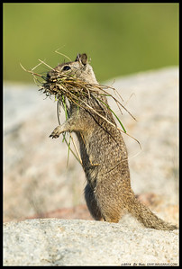 This Ground Squirrel made over a dozen trips to grass clumps near me, gathering nesting material by the mouthful.
