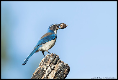 Western Scrub Jay showing off a previously buried treasure.