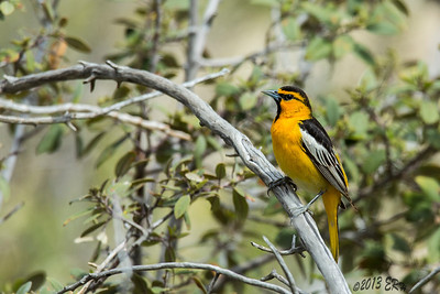 Another Bullock's Oriole poses.