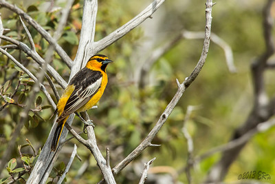 A Bullock's Oriole stopped by the watering hole.