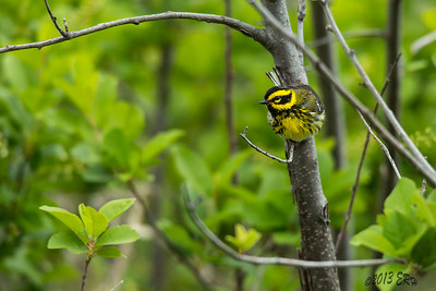 Townsend's Warbler checking out the source of those odd clicks.  This was about 20 minutes before the first drops started to fall.