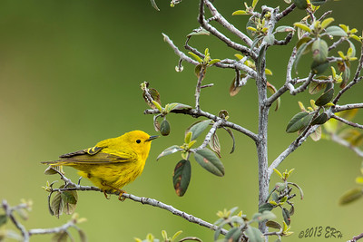 Yellow Warbler checking out the available menu before heading down for a bath.