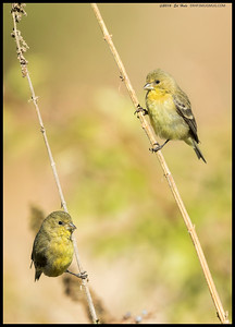 A pair of curious Lesser Goldfinches checking out the surroundings before dropping down for a drink.