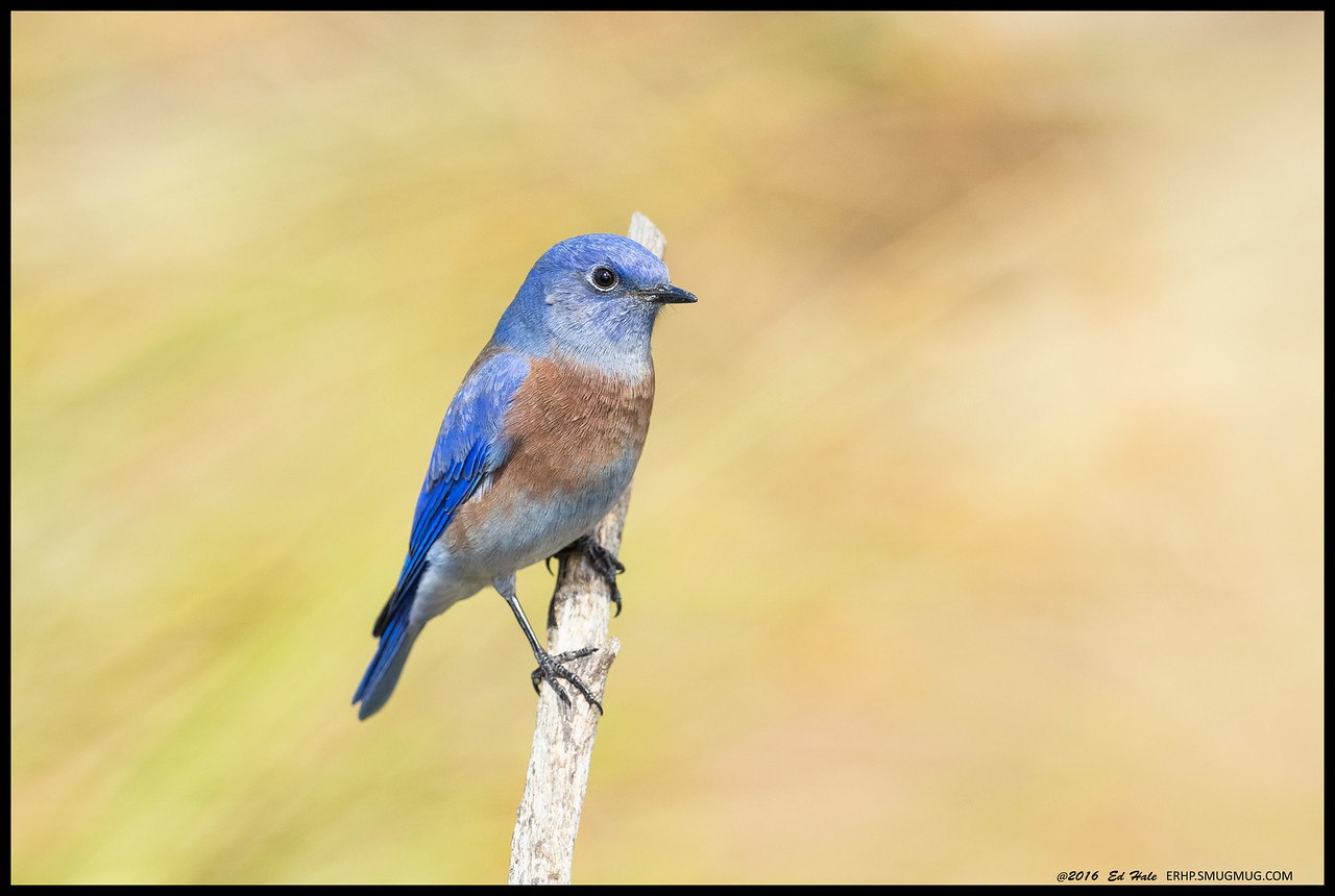 Believe this Western Bluebird was as focused on the lens as it was on him.
