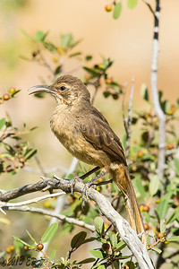 A California Thrasher too thirsty for a song.