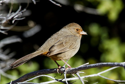 California Towhee - Four of these guys were hopping around in the leaves between three short trees and I really didn't think I would get a good shot.  Being patient paid off though as this one decided the dead branch was a good lookout before the group flew to another group of trees.
