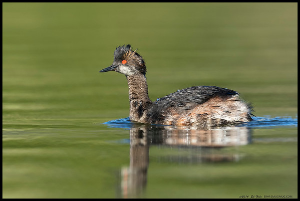 Eared Grebe in a somewhat in between state of plummage.